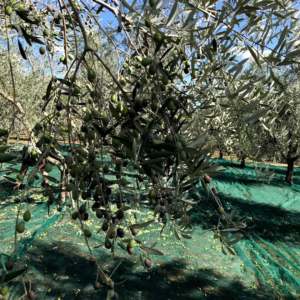 Piccolo Frantoio di Bolgheri - Le Olive