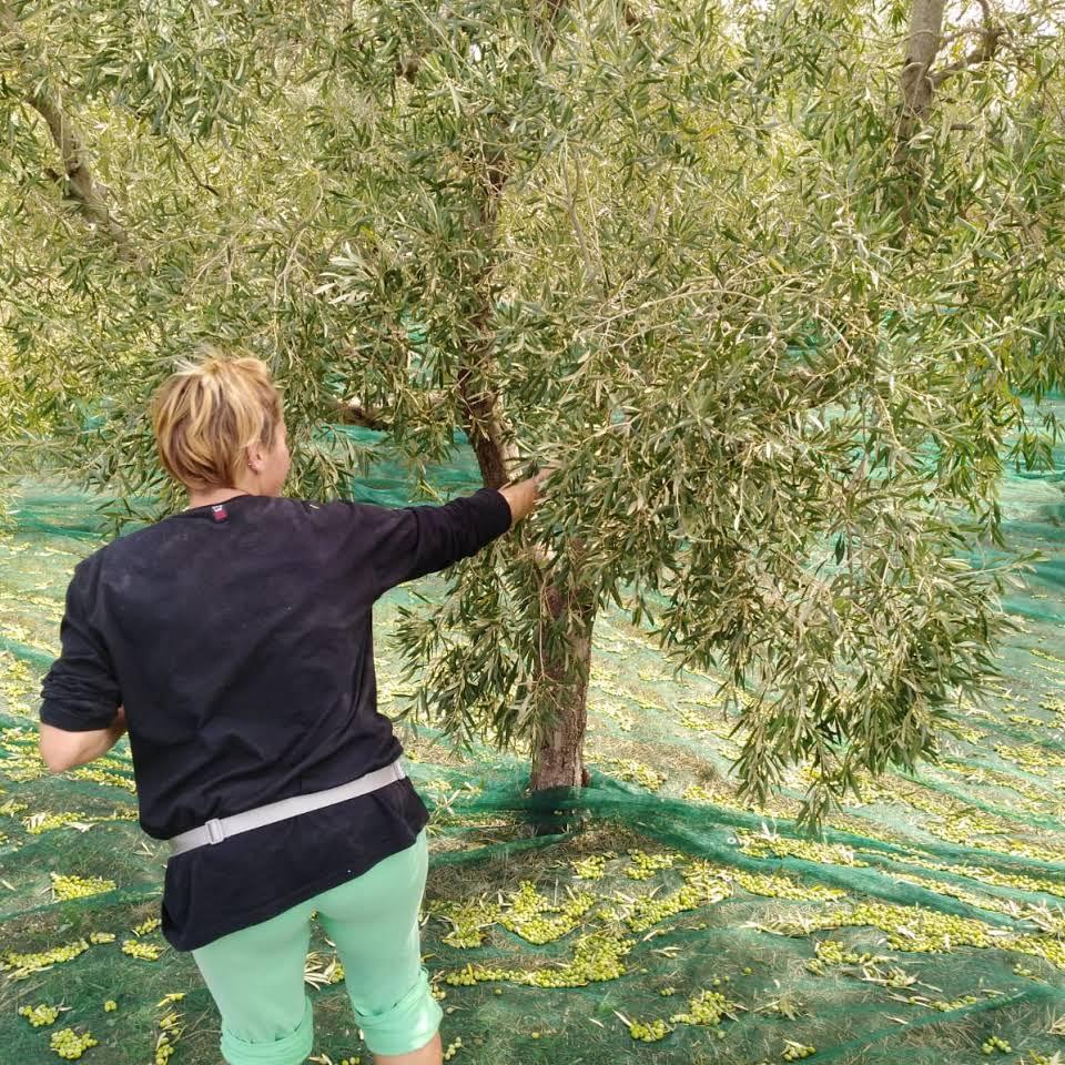 Piccolo Frantoio di Bolgheri - La raccolta delle olive